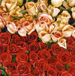 2637 - Lots of roses