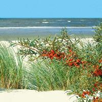 4972 - Sea buckthorn beach