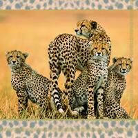 3720 - Cheetas familie - Cheeta family