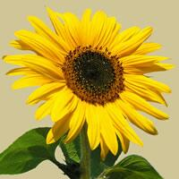 4926 - Sunflower