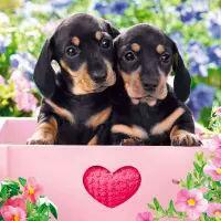 5489 - Dachshund Puppies