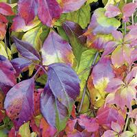 4044 - Autumn Leaves – Purple