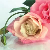 3675 - Roses pink