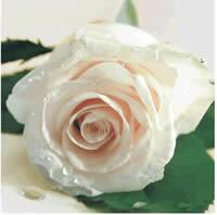 3404 - Delicate Pink rose
