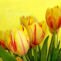 4293 – Yellow tulips