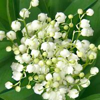 4927 - Lily of the valley