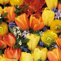 3867 - Colorful Tulips