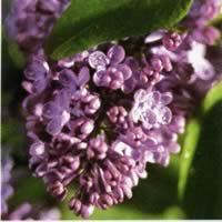3741 - Purple lilacs